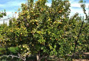 gilcrease pear tree